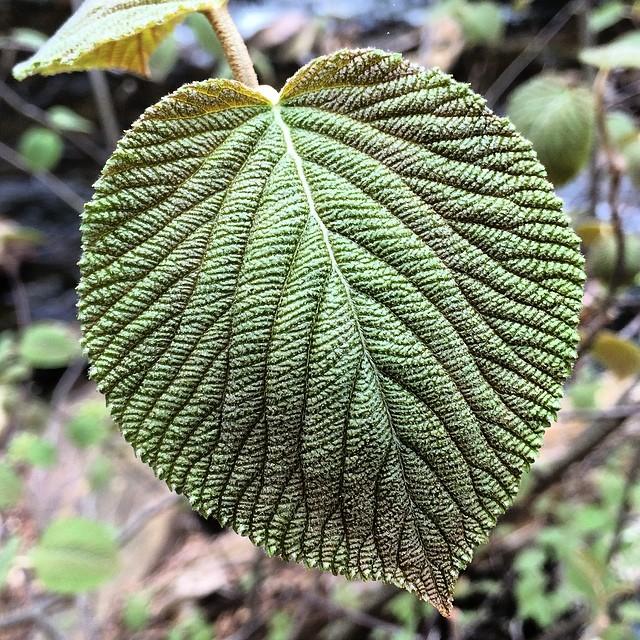 Hobblebush Leaf
