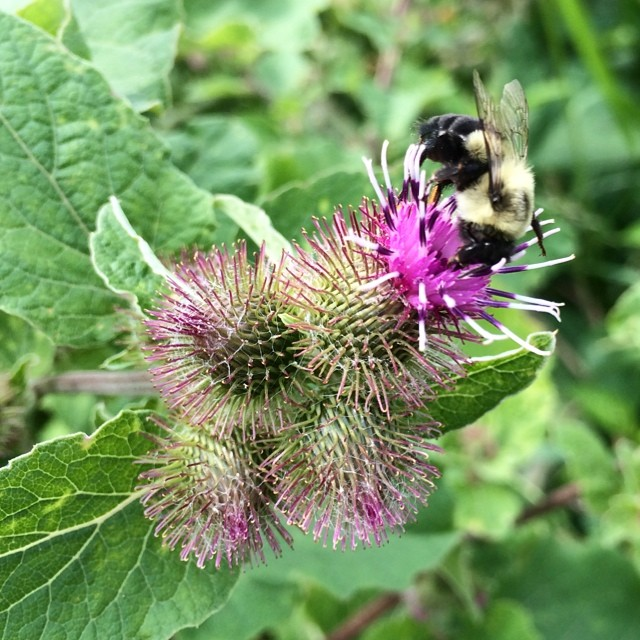 #BumbleBee #bee #ShenandoahNationalPark #SkylineDrive #BlueRidgeMountains #Virginia #nature #wildlife