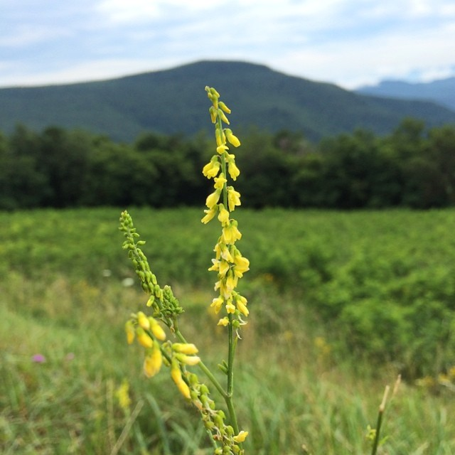 Sweet Yellow Clover