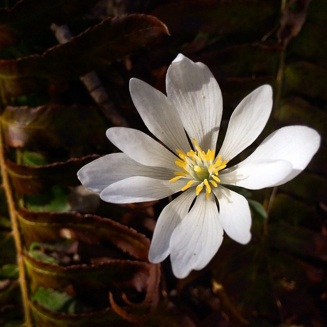 White Bloodroot
