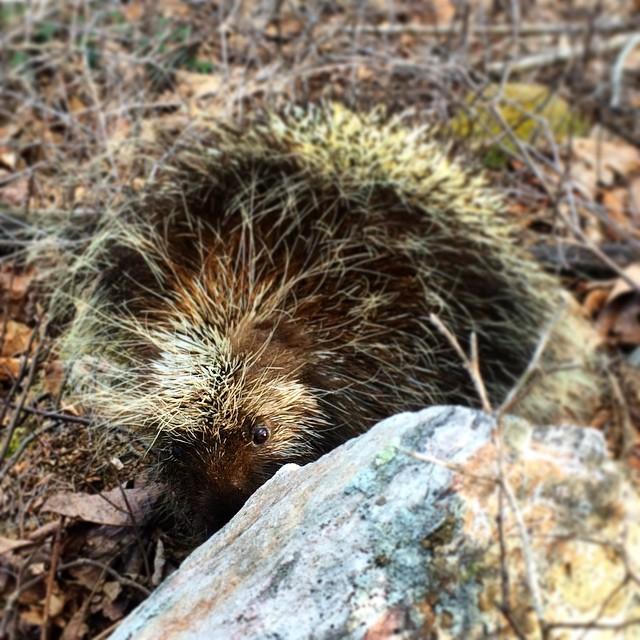 Pennsylvania Porcupine