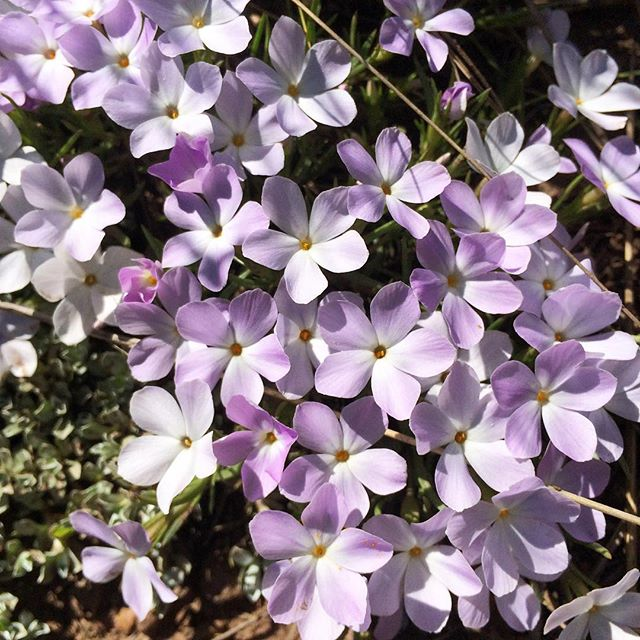Rocky Mountain Phlox