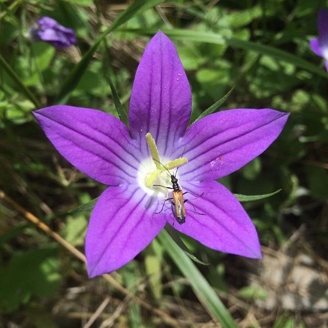 Meteora Bellflower