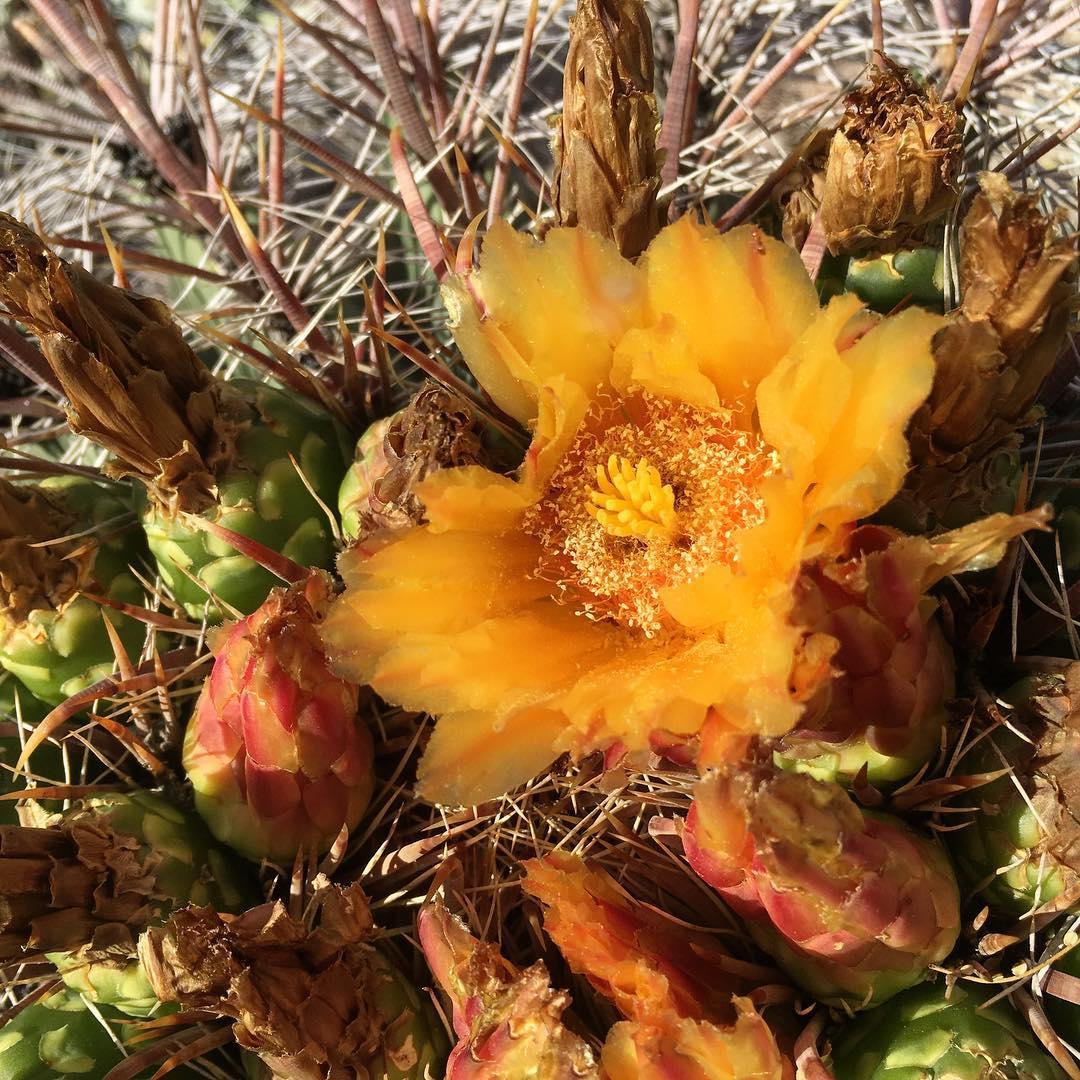 Flowering Barrel Cactus