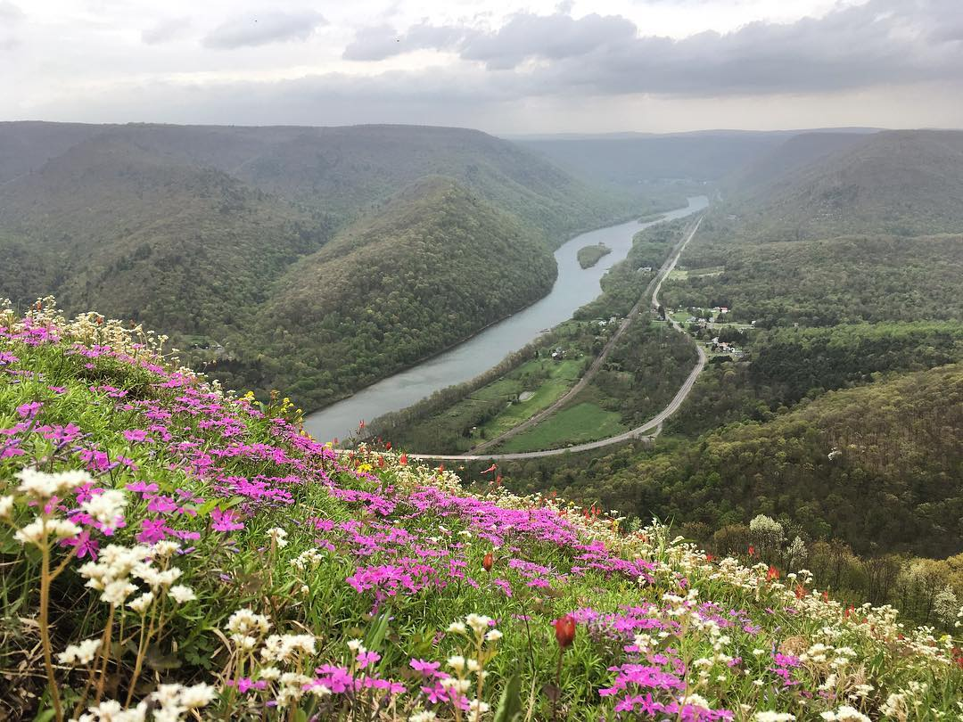 Wildflowers at Hyner View