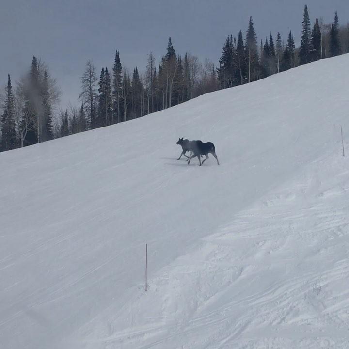 Steamboat Springs Moose