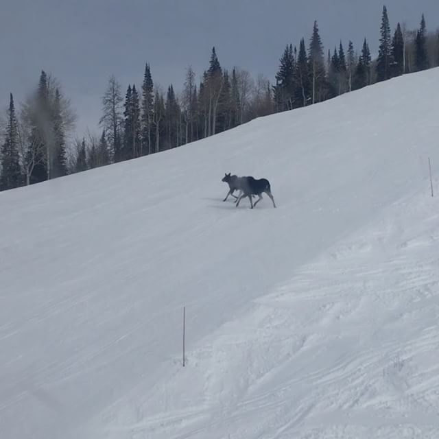Steamboat Springs Moose